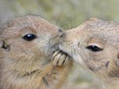 Cute prairie dogs appear to cup each other's faces and kiss in these adorable pictures