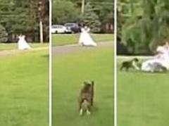 Runaway, bride! Woman in wedding dress flees as she is chased across grass by excitable dog